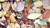 Stack Of Dry Fallen Autumn Leaves. Colorful Fall Leaves Closeup. Natural Fall Leaves Background. Tex poster