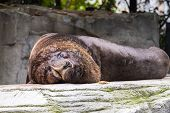 The South American Sea Lion, Otaria Flavescens, Formerly Otaria Byronia, Also Called The Southern Se poster