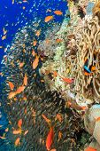 Clownfish And Glassfish Around A Pinnacle