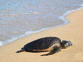 Постер, плакат: Гавайский Зеленая морская черепаха honu зеленая вида