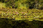 Lily Pads And Flowers