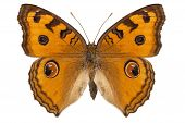 Butterfly Species Junonia Almana