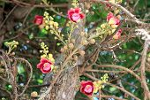 stock photo of cannon-ball  - A cannon ball tree flowers - JPG