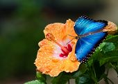stock photo of hibiscus  - Blue Morpho butterfly  - JPG