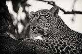Leopard lying on branch, Maasai Mara, Kenya