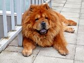 Brown Chow Chow Living In The European City