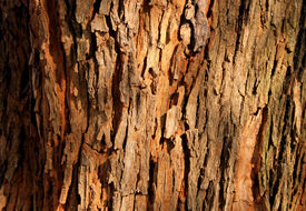 stock photo of bosveld  - Rough Grooved Red Brown Tree Bark Background - JPG