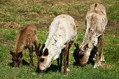 stock photo of caribou  - Three caribou eat grass at the Large Animal Research Station in Fairbanks - JPG