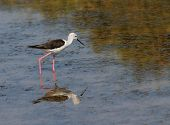 Black-winged Stilt Bird With Long Tapered Legs Walking In The Pond 1 poster