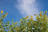 Sunflower Border against Blue Sky