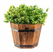 Green Boxwood Pick In Wood Bucket