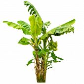 picture of banana tree  - Close up banana tree isolated on white background - JPG