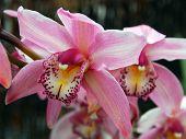 Pink White Cymbidium Clarisse Orchid Flower