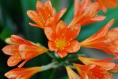 Bright Orange Kafir Lily Flower