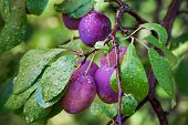 Ripe Plums On The Branch With Dew Droplets