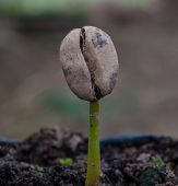 foto of humus  - coffee sprout growing from seedling in Plant nurseries - JPG