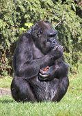 Gorilla mit Tomaten