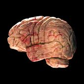 Anatomy Brain - Side View on Black Background