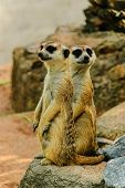 stock photo of meerkats  - two meerkats is standing lovely in the zoo - JPG