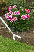 stock photo of hoe  - Using a garden hoe to hoe weeds from flower border - JPG