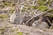 stock photo of wild-rabbit  - Two baby wild European rabbits sit outside their burrow at a rabbit warren in the UK - JPG