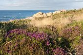 Purple Heath At Coast Of Brittany, France