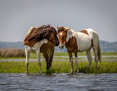 picture of bay horse  - Wild Horses in bay at Assateague National Park - JPG