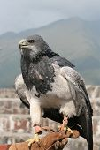 picture of buzzard  - A Black  Chested Buzzard Eagle at an outdoor bird sanctuary near Otavalo - JPG