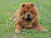 picture of long tongue  - Brown friendly chow - JPG