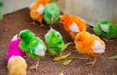 chicken multi colored,  Baby chick in India