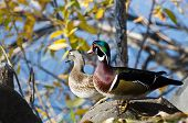 Pair Of Wood Ducks Looking Out Over The Lake
