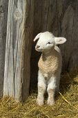 picture of spring lambs  - A cute spring lamb stands up in the barn - JPG