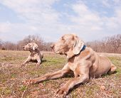 Two Weimaraner dogs in spring sunshine