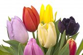 Bunch Of Tulips On White Background
