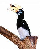 Great hornbill at KL Bird Park.
