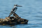 Pied Kingfisher (ceryle Rudis) Perched On Wood In Water
