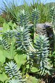 Sedum Plants Close-up.