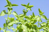stock photo of nepeta  - Catnip plants sway in the wind under blue sky - JPG