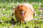 Pomeranian Dog Walking On Green Grass In The Garden