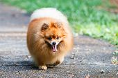 Pomeranian Dog Walking On The Road In The Garden