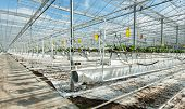 Sophisticated And Large-scale Strawberry Cultivation On Substrate