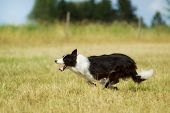 Border Collie Running On Grass