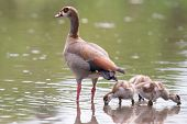 image of baby goose  - Egyptian goose family go for a swim on their own in dangerous wild water - JPG
