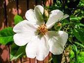 stock photo of climbing roses  - Flowering white climbing rose plant with two buds in summer.