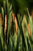 stock photo of cattail  - Cattails at dawn - JPG