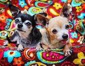 two cute chihuahuas on a paisley blanket