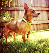 a cute chihuahua enjoying the outdoors on a summer day toned with a retro vintage instagram filter e
