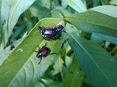 Beetles in the garden