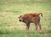 Buffalo Bison Calf On Green Pasture