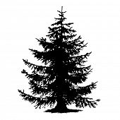 Spruce full size tree isolated rough silhouette, vector